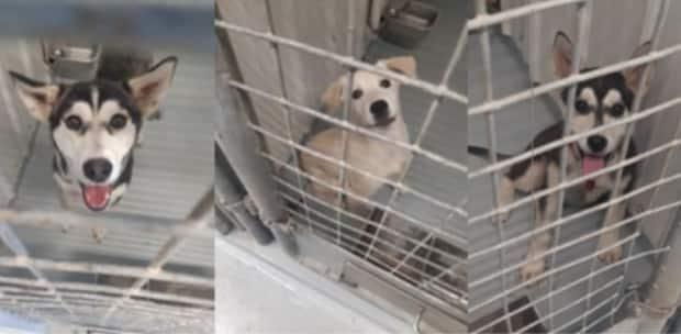 One adult dog, left, and two puppies were stolen from the Inuvik animal pound sometime between Sunday afternoon and Monday morning. (Town of Inuvik - image credit)