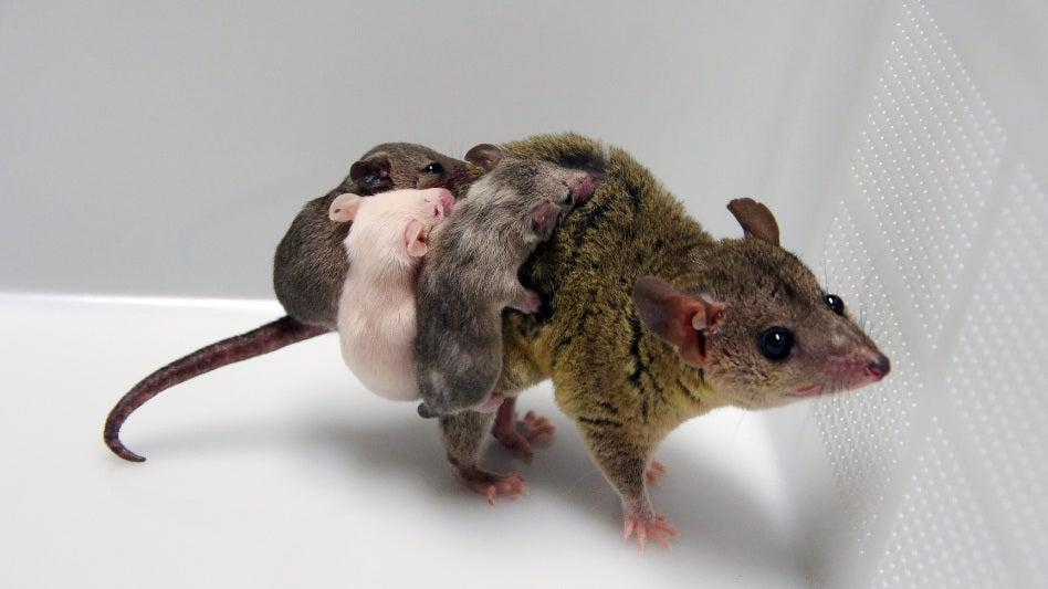 Scientists at Japan's NIKEN institute created the first-ever genetically modified marsupial using the gene-editing technology CRISPR. (Courtesy of NIKEN)