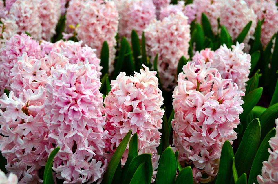 <p>It's a magical scene in the springtime when the pastels colors of hyacinths start popping up from the ground with their sweet fragrance filling the air. To achieve this glorious scene of natural beauty you'll need to plant your hyacinths bulbs in mid-to-late autumn to ensure they have enough time to germinate. The good news is that hyacinths are perennials, which means they will come back year after year. </p>
