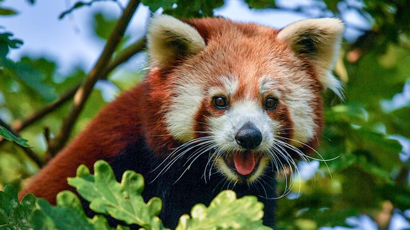 In Video: Bristol Zoo celebrates ahead of Red Panda Day with new arrival