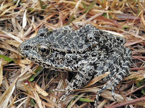 The highly endangered dusky gopher frog. (Photo: Western Carolina University/John A. Tupy/USDA)