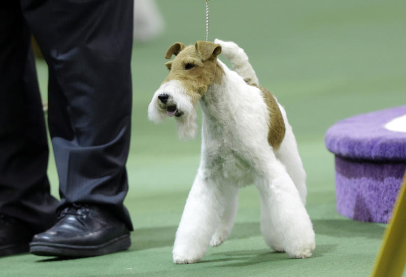 Sky, a wire fox terrier, wins the terrier group during the Westminster Kennel Club dog show, Tuesday, Feb. 11, 2014, in New York. (AP Photo/Frank Franklin II)