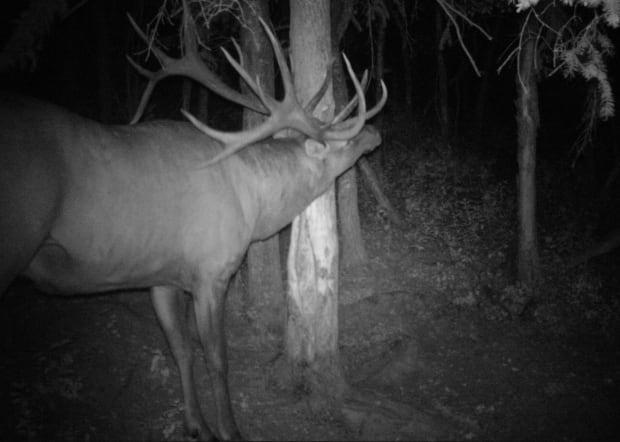 Shawn O'Shea first learned of the big bull when his trail camera snapped a photo of the animal rubbing a tree that draws elk.