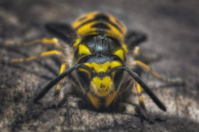 A bee looking directly into the camera