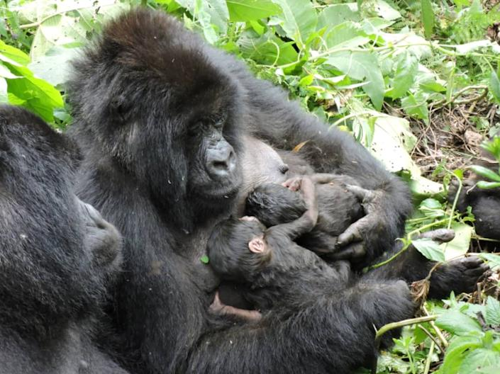 A gorilla from the Nyakamwe family holds her newly born twin babies at the Virunga National Park in the Democratic Republic of Congo in this picture released on 22 September 2020