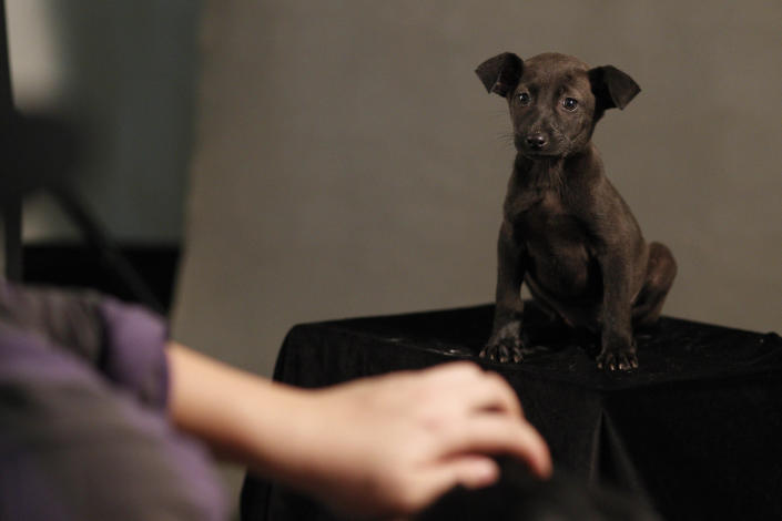 In this photo taken on Monday, April 9, 2012,  in a makeshift studio, Taiwanese photographer Tou Chih-kang tries to make a portrait of a dog in the final moments of its life before being put down by lethal injection at a shelter in Taoyuan, northern Taiwan. Tou has been visiting dog shelters for two years now, making human-like portraits that give a sense of dignity and esteem to some 400 canines, in hopes of educating the public on the proper care of pets. This year Taiwanese authorities will kill an estimated 80,000 stray dogs at 38 pounds scattered throughout the island. (AP Photo/Wally Santana)
