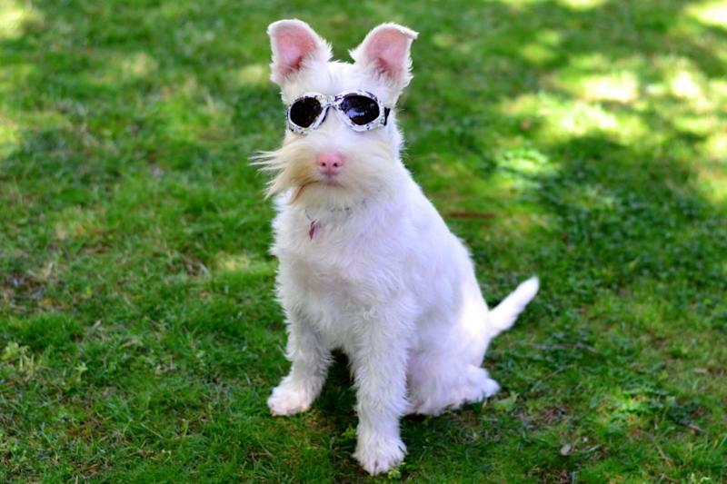 Too much direct sunlight could kill this adorable abandoned albino puppy – but his suave sunglasses have made him a social media star. Photo: Caters News