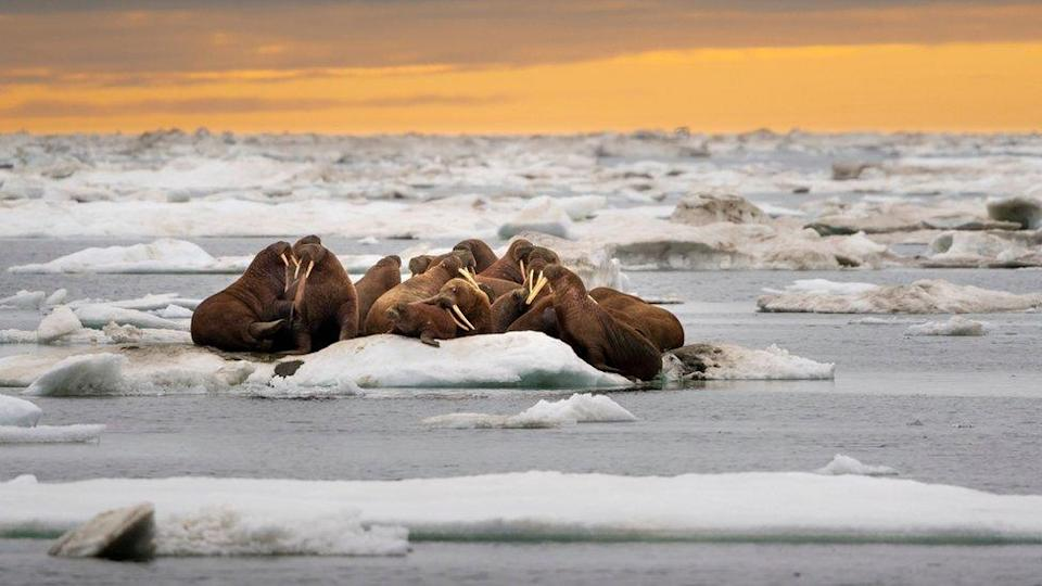 Walruses are a keystone species of the Arctic