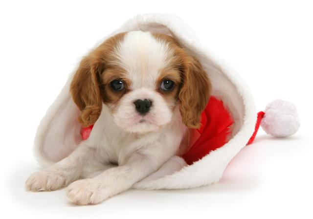 <p>Blenheim cavalier King Charles Spaniel pup (Photo: Warren Photographic/Caters News) </p>
