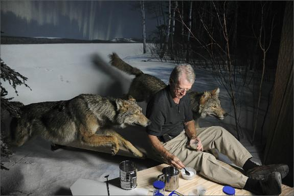 The addition of new, energy-efficient lights to the wolf diorama caused a problem: Their shadows that didn't match the setting of a moonlit December night on the southern shore of Gunflint Lake in northern Minnesota. Museum artist Stephen C. Qu
