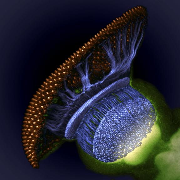This space-y photo of a fruit fly (Drosophila melanogaster) visual system halfway through pupal development took home fourth prize. Image shows the fruit fly's retina (gold), photoreceptor axons (blue) and brain (green).