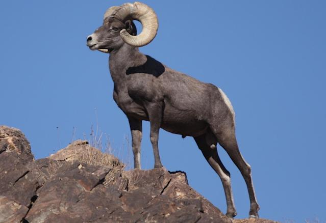 "If you go to rams.com, you'll find information about the Bighorn Ram and not the <a class=""link rapid-noclick-resp"" href=""/nfl/teams/lar/"" data-ylk=""slk:Los Angeles Rams"">Los Angeles Rams</a>. (Wikimedia Commons)"