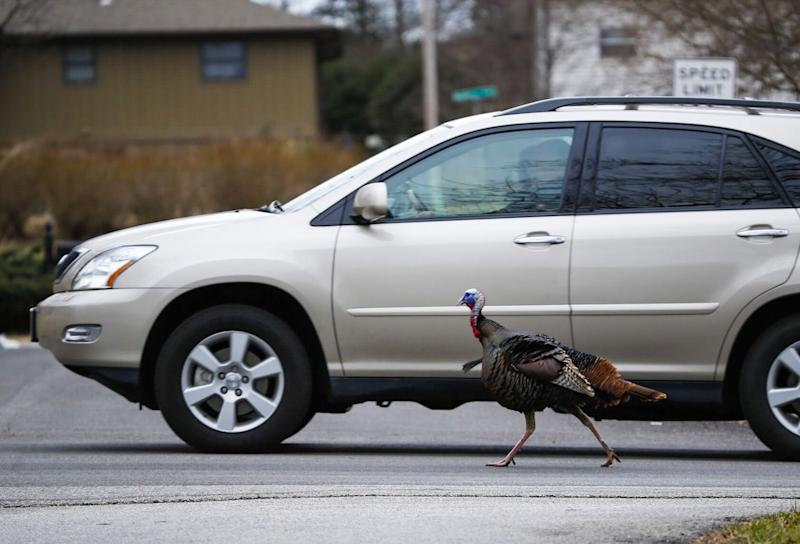 A wild turkey, that has been named Richard by neighbors, chases after an SUV as it drives on South Harvard Avenue in south Springfield on Tuesday, Feb. 19, 2019.