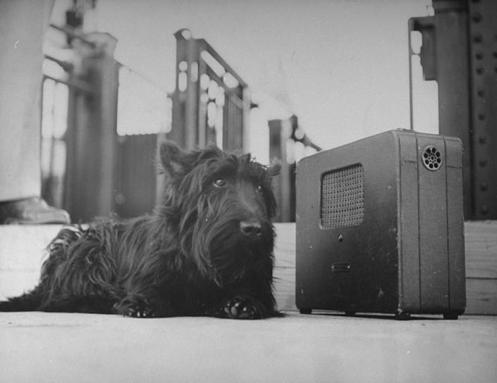 Franklin D. Roosevelt's dog Fala, listening to the President's speech on the radio. (Photo: George Skadding via Getty Images)