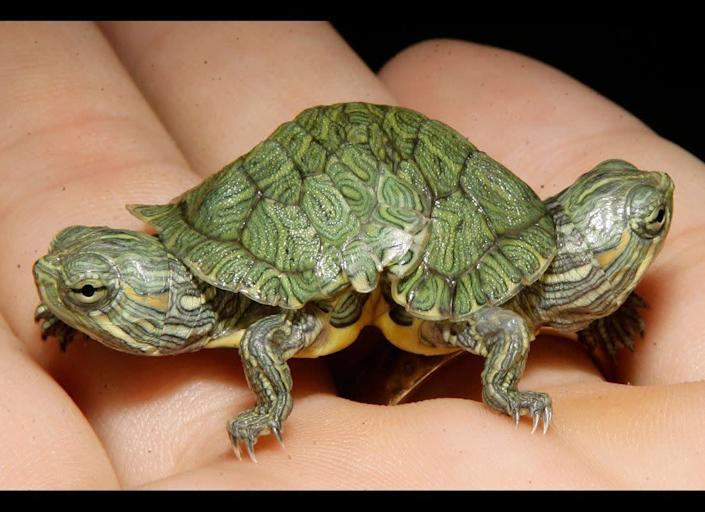 Store manager Jay Jacoby displays a two-headed red slider turtle at Big Al's Aquarium Supercenter in East Norriton, Pa.