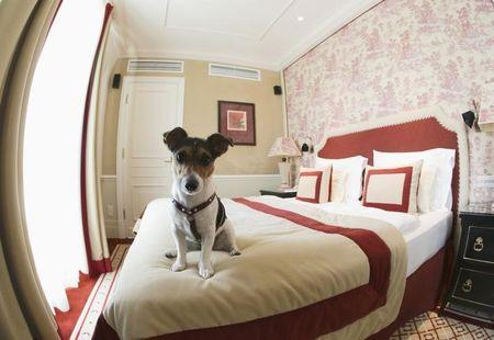 One-and-a-half-year-old Jack Russell Terrier, Ella, sits on a bed at Hotel Sacher in Vienna