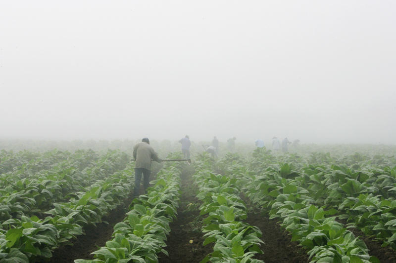 Report highlights child labor on US tobacco farms