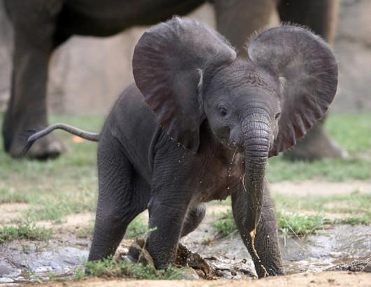 The Indianapolis Zoo introduced a female African elephant to the public 2 weeks after its July 20th birth. The elephant weighs 254 pounds, and her mother is the first African elephant to successfully conceive and give birth via artificial insemination three times, according to the Indianapolis Star.
