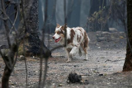A cadaver dog named I.C. searches for human remains in an area destroyed by the Camp Fire in Paradise, California, U.S., November 14, 2018.  REUTERS/Terray Sylvester
