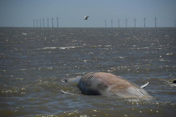 A 40ft-long whale that has washed up on the beach at Clacton-on-Sea in Essex (PA)