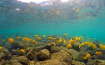 In this Sept. 12, 2019 photo, fish swim near bleaching coral in Kahala'u Bay in Kailua-Kona, Hawaii. Just four years after a major marine heat wave killed nearly half of this coastline's coral, federal researchers are predicting another round of hot water will cause some of the worst coral bleaching the region has ever seen. (AP Photo/Caleb Jones)