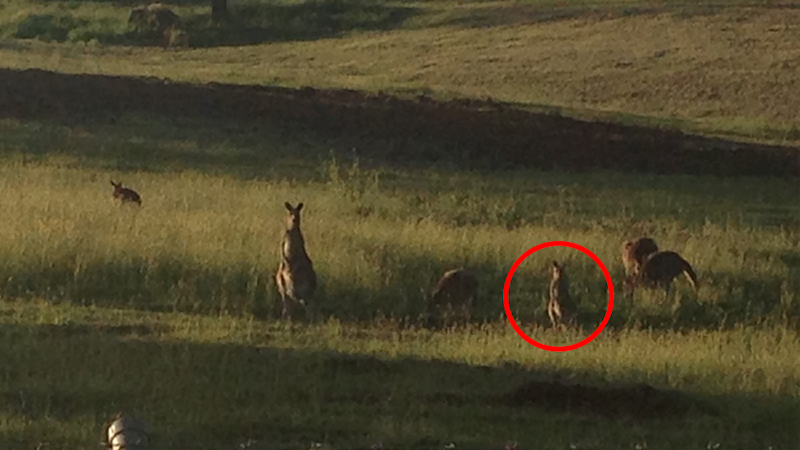 Joeys and young kangaroos were said to be amongst the mob scheduled to be shot. Source: Supplied