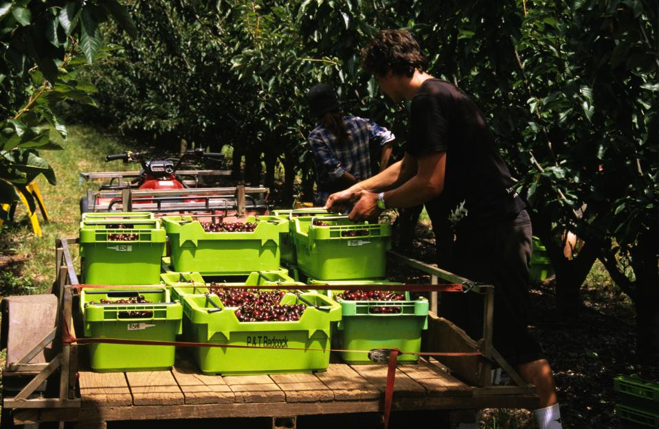 Cherries (Cerasus (Prunus) avium),being harvested for commercial sale northwest Tasmania, Australia. (Photo by Auscape/Universal Images Group via Getty Images)