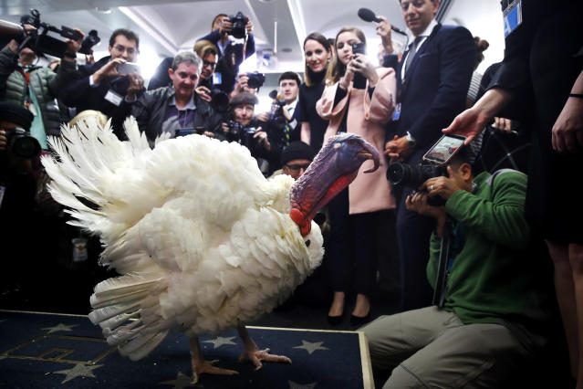 <p>Wishbone, one of two turkeys set to be pardoned by President Donald Trump, is previewed by members of the press, Tuesday, Nov. 21, 2017, at the White House briefing room in Washington. (Photo: Jacquelyn Martin/AP) </p>