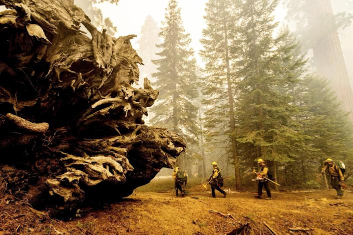 Firefighters battle the Windy fire in the Trail of 100 Giants grove of Sequoia National Forest.