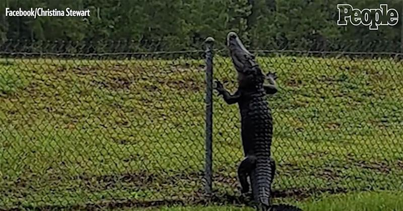 Alligators Spotted 'Swimming' in Flooded Road, Climbing Fences in Florida