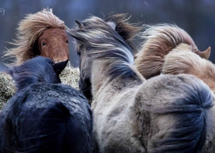 Iceland horses stand together in a strong storm in their stud in Wehrheim near Frankfurt, Germany, Sunday, Feb. 9, 2020. (AP Photo/Michael Probst)