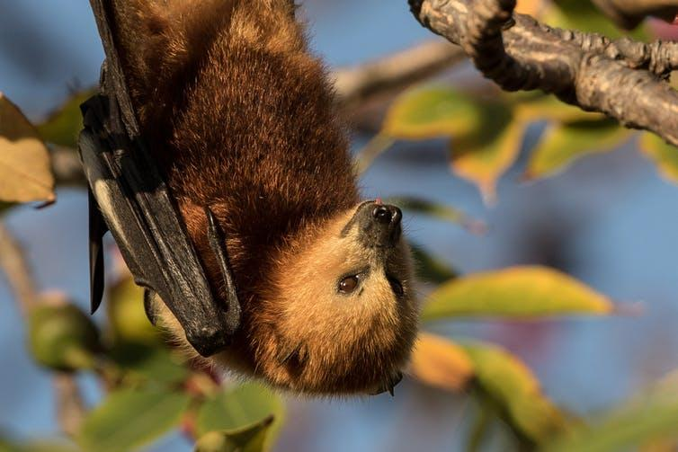 A bat hangs upside down from a branch.