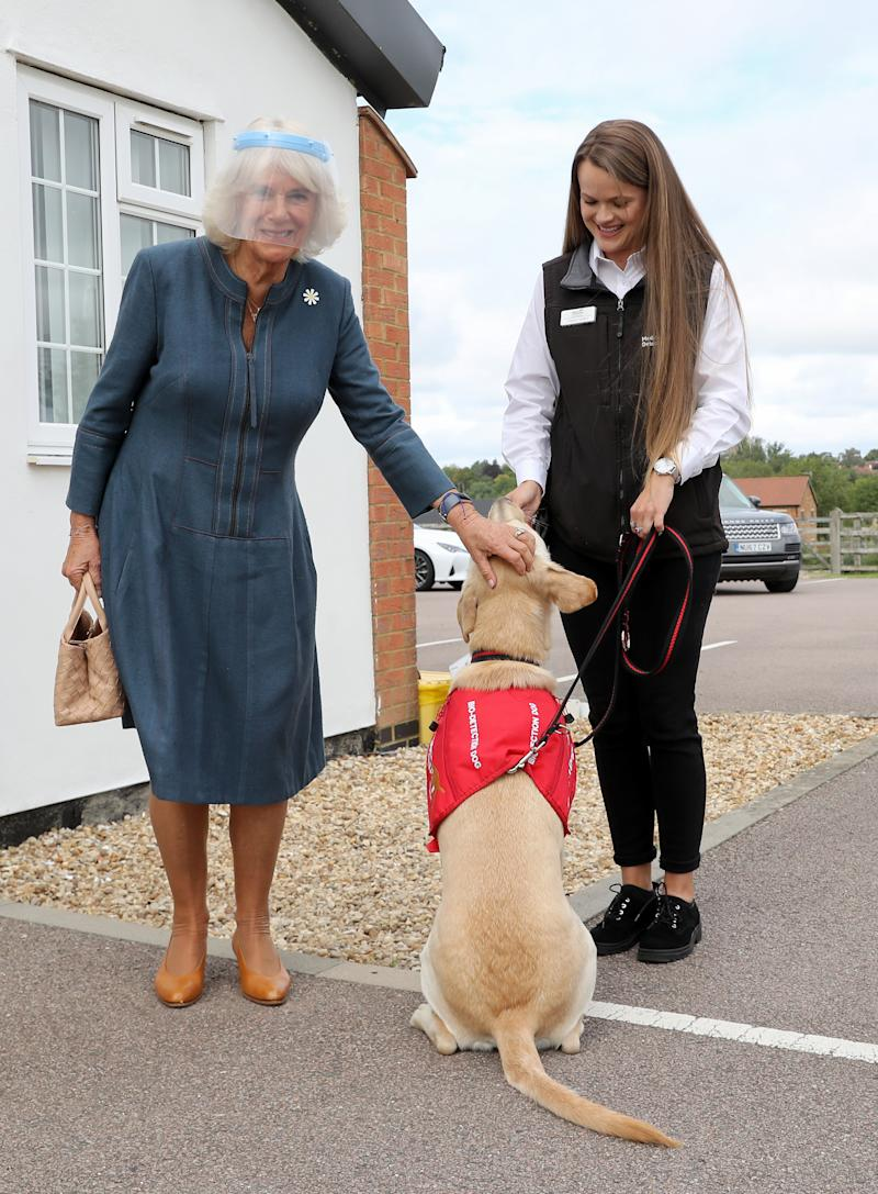 MILTON KEYNES, ENGLAND - SEPTEMBER 09: Camilla, Duchess of Cornwall, Patron of Medical Detection Dogs, meets Storm, a Labrador Cross Golden Retriever, during a visit to the charity's training centre where trials are currently underway to determine whether dogs can act as a diagnostic tool of COVID-19 on September 09, 2020 in Milton Keynes, England. (Photo by Chris Jackson - WPA Pool/Getty Images)