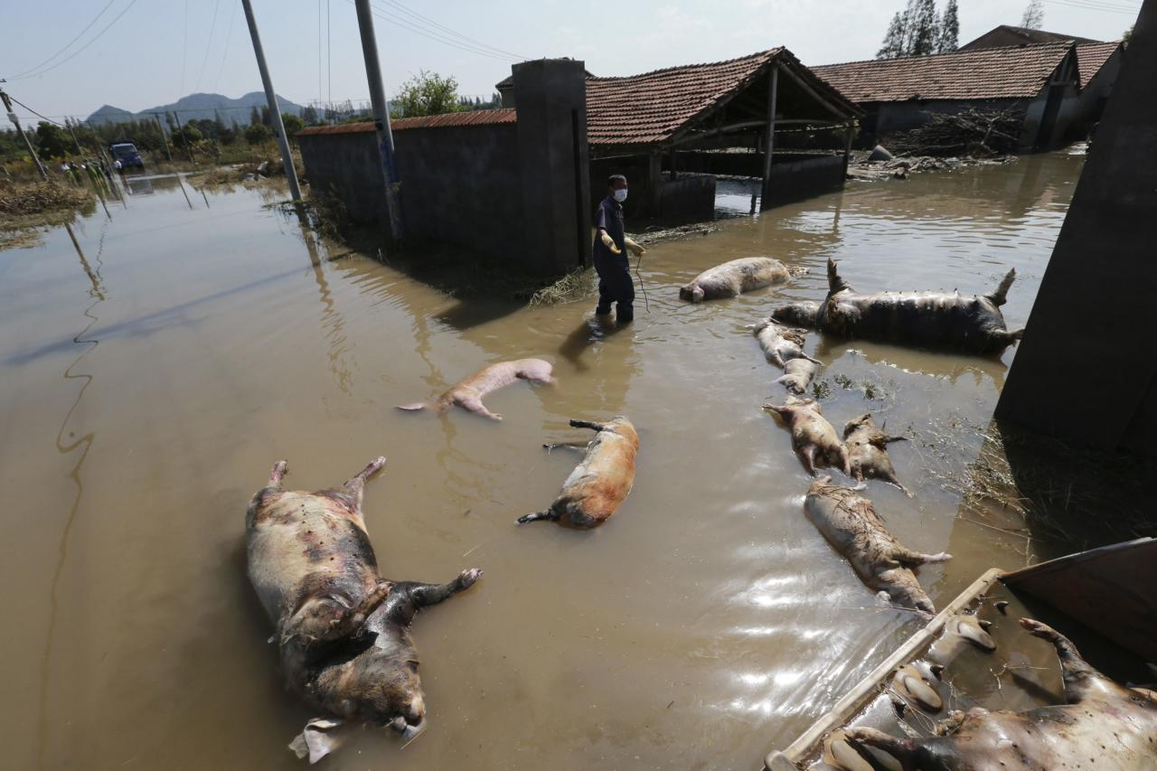 A farmer clears dead pigs at a flooded pig farm in the typhoon-hit Yuyao city in Zhejiang province October 14, 2013. More than 200 pigs died after Typhoon Fitow flooded 70 percent of the city's downtown, according to local media. Picture taken October 14, 2013. REUTERS/China Daily (CHINA - Tags: DISASTER ANIMALS BUSINESS) TEMPLATE OUT. CHINA OUT. NO COMMERCIAL OR EDITORIAL SALES IN CHINA