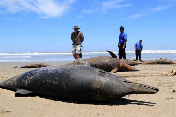 Dolphin carcasses are seen after being displayed by conservationists and environmental police officers at San Jose beach, north of Chiclayo, April 6, 2012.