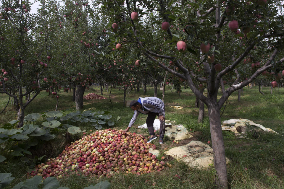 In this Sunday, Oct. 6, 2019 photo, Kashmiri farmer Rayees Ahmad shows a pile of rotten apples inside his orchard in Wuyan, south of Srinagar Indian controlled Kashmir. The apple trade, worth $1.6 billion in exports in 2017, accounts for nearly a fifth of Kashmir's economy and provides livelihoods for 3.3 million. This year, less than 10% of the harvested apples had left the region by Oct. 6. Losses are mounting as insurgent groups pressure pickers, traders and drivers to shun the industry to protest an Indian government crackdown. (AP Photo/Dar Yasin)