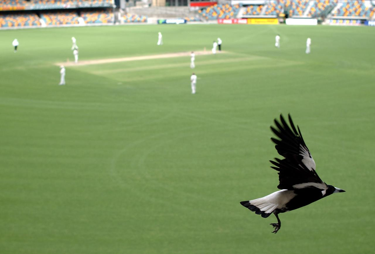 4 Nov 2001:  A local Magpie watchers the action from the grandstand during the New Zealand versus Queensland cricket match played at the Gabba in Brisbane, Australia. The match is part of the New Zealand team's tour of Australia.  DIGITAL IMAGE. Mandatory Credit: Darren England/ALLSPORT