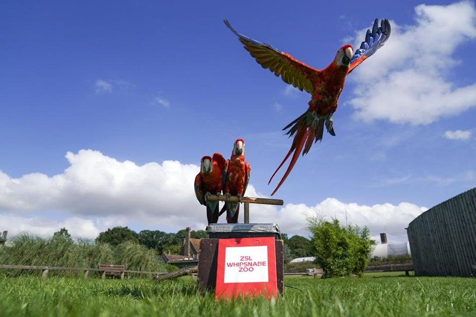 Scarlet macaws during the annual weigh-in at the Bedfordshire attraction (Steve Parsons/PA) (PA Wire)