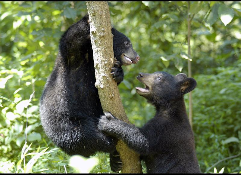 This July 2011 photo provided by the Appalachian Bear Rescue shows two cubs at the center in Townsend, Tenn. The Appalachian Bear Rescue is the only place in the Southeast where orphaned black bears get a shot at survival. (AP Photo/Appalachian Bear Rescue)