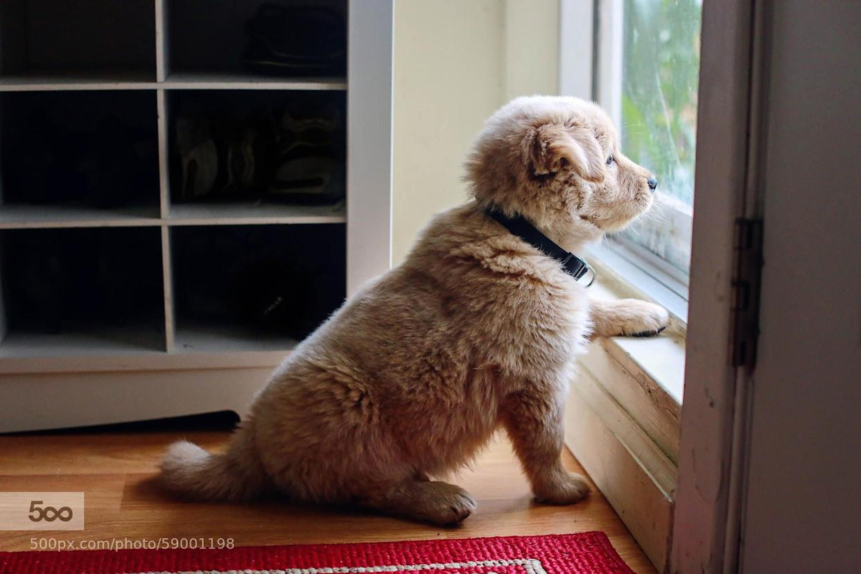 Henry the Golden Retriever pup looks longingly out the window. Hoping he'll soon get to go out and play, I'm sure!