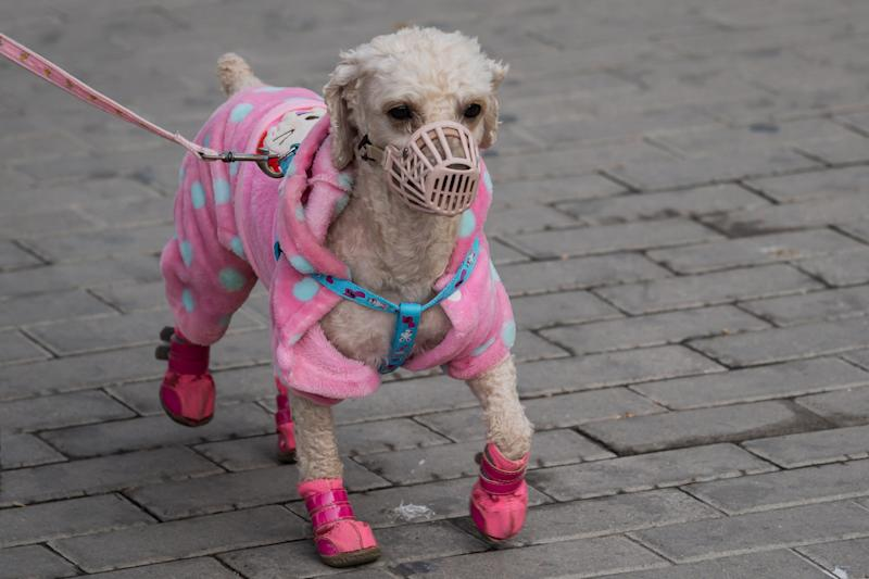A dog wearing a mask to prevent it from coming into contact with surfaces outside, amid concerns of the COVID-19 coronavirus, walks on a street in Beijing on March 22, 2020. (Photo by NICOLAS ASFOURI / AFP) (Photo by NICOLAS ASFOURI/AFP via Getty Images)