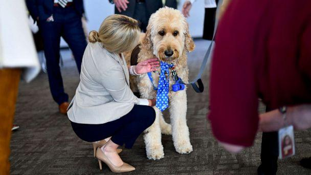 PHOTO: A goldendoodle therapy dog named Blue greets Congressional staff during a 'Meet the Pets: Destress with Post-Election Therapy Dogs' event on Nov. 13, 2019, in Washington. (Mark Makela/Getty Images)