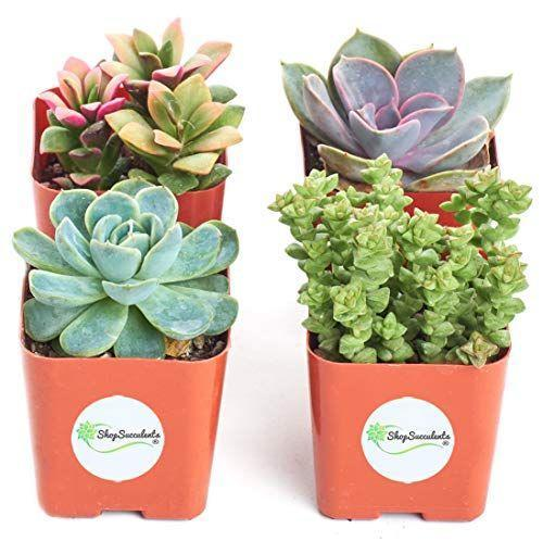 """<p><strong>Shop Succulents</strong></p><p>amazon.com</p><p><strong>$22.96</strong></p><p><a href=""""https://www.amazon.com/dp/B01LXDV7JI?tag=syn-yahoo-20&ascsubtag=%5Bartid%7C2140.g.29003608%5Bsrc%7Cyahoo-us"""" rel=""""nofollow noopener"""" target=""""_blank"""" data-ylk=""""slk:Shop Now"""" class=""""link rapid-noclick-resp"""">Shop Now</a></p><p>In addition to being adorable little decorating accents for around the house, plants have also been shown to have <a href=""""https://www.womenshealthmag.com/life/g26610281/best-indoor-plants/"""" rel=""""nofollow noopener"""" target=""""_blank"""" data-ylk=""""slk:numerous health benefits"""" class=""""link rapid-noclick-resp"""">numerous health benefits</a>, including air purification and just making you feel good. Plus, these succulents are easy to care for, whether your bestie has a green thumb or, uh, not.</p>"""