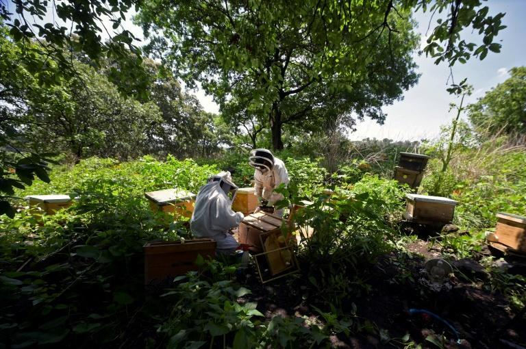 The rescued bees are taken to mountains outside the urban sprawl of Mexico City
