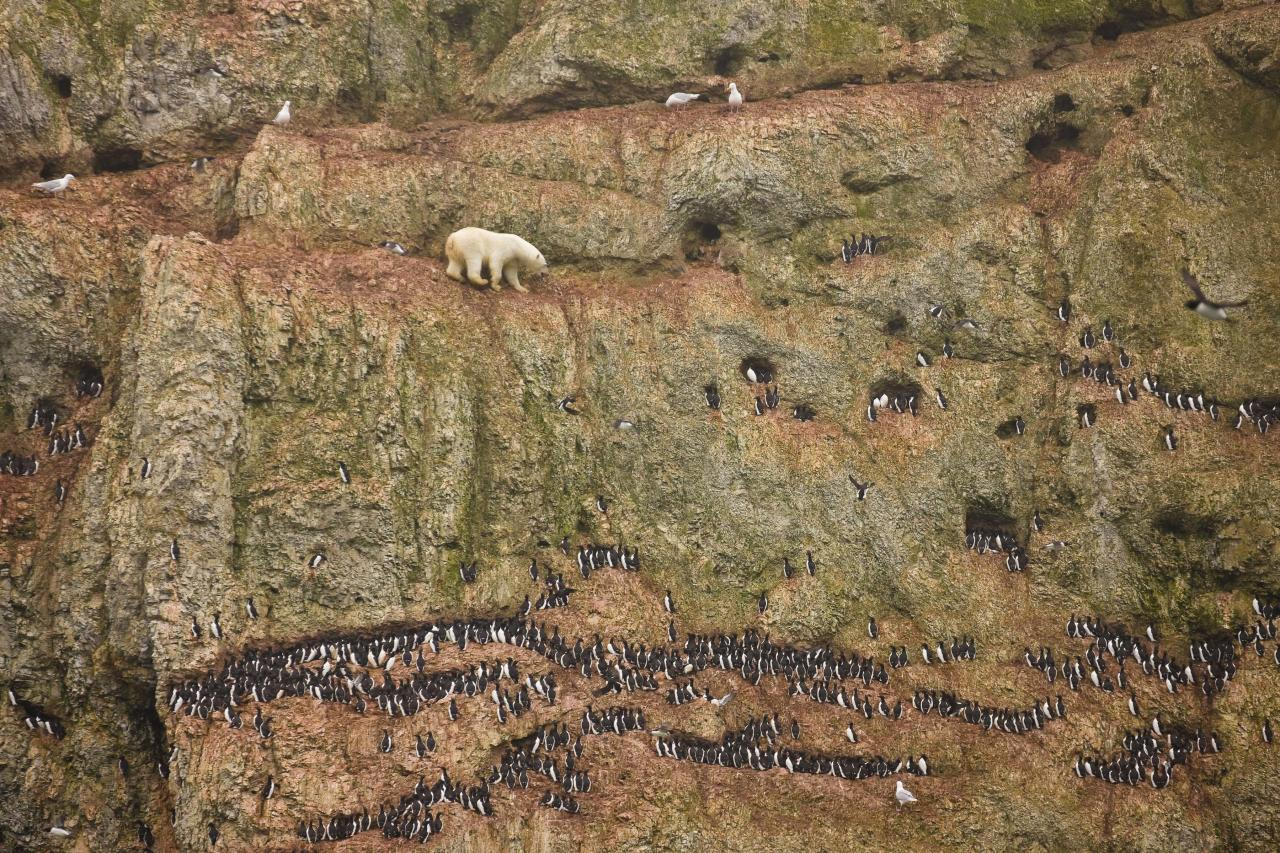 In this photo provided on Friday Feb. 10, 2012 by World Press Photo, the 1st prize Nature Singles category of the 2012 World Press Photo contest by Jenny E. Ross, USA. Novaya Zemlya, Russia, shows a male polar bear climbing precariously on the face of a cliff above the ocean at Ostrova Oranskie in northern Novaya Zemlya, attempting to feed on seabird eggs. (AP Photo/Jenny E. Ross)