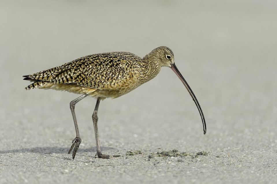 <p><strong>Eskimo Curlew -</strong> Existing only in rumor without actually being seen in the wild, the Eskimo Curlew may already be extinct. Listed as endangered and rare, this could be one bird we won't see again.  </p>
