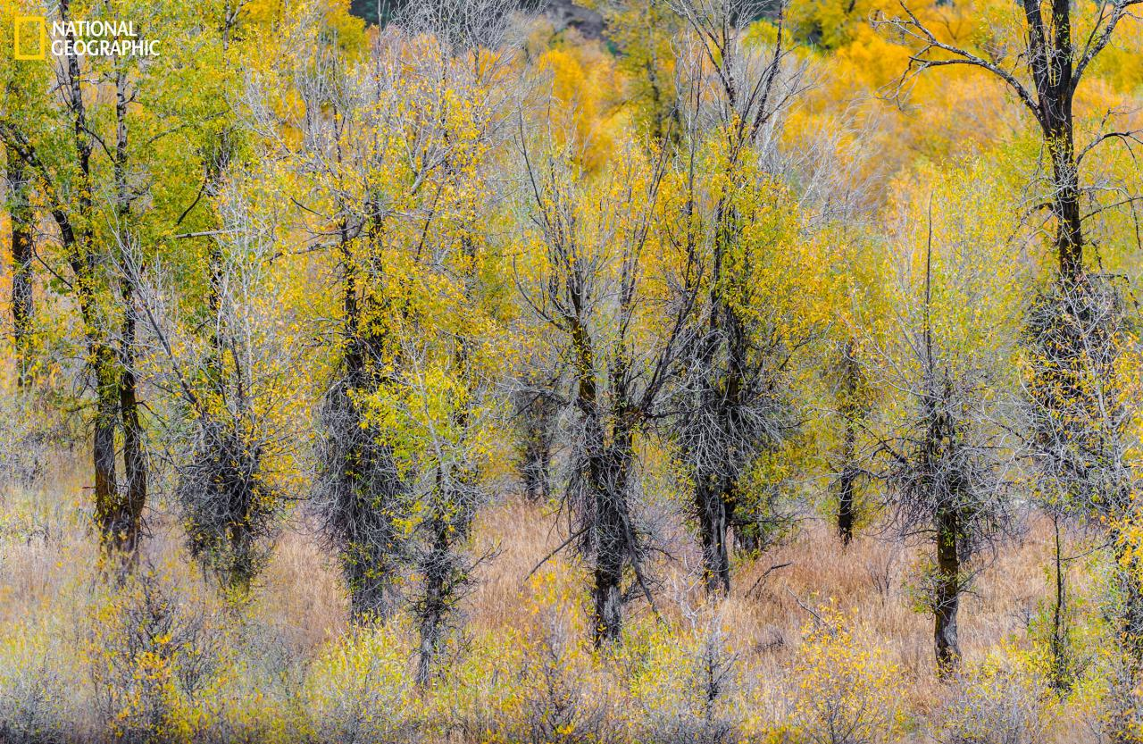 <p>Yellow puffs of cottonwood flowers cling to the trees in the woodland scene, giving it the look of a Impressionist painting. (Gillian Lloyd/2016 National Geographic Nature Photographer of the Year)</p>