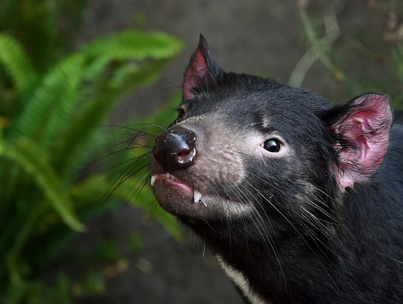 A Tasmanian Devil named Conrad inside its enclosure at the San Diego Zoo, California on January 13, 2015 (AFP Photo/Mark Ralston)