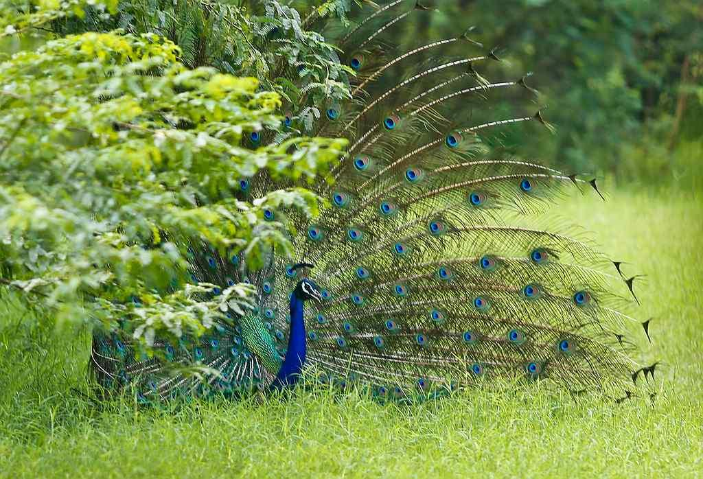 "A male Indian Peafowl dances <br>By <a target=""_blank"" href=""http://www.flickr.com/photos/shankyphotography91/"">Shanky91</a>"