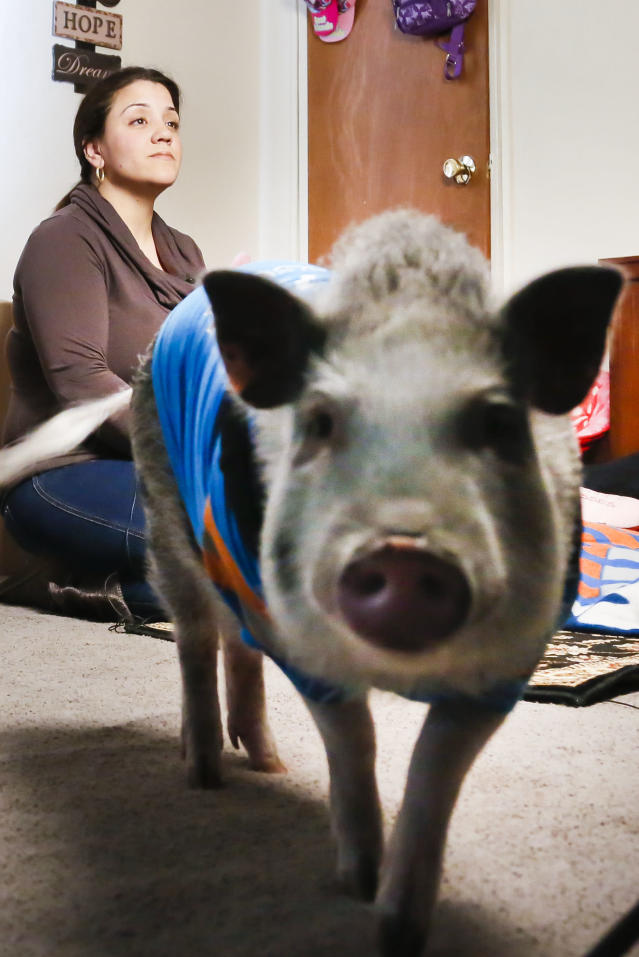 Danielle Forgione and Petey, the family's pet pig, during an interview, on Thursday, March 21, 2013, in the Queens borough of New York. Forgione is scrambling to sell her second-floor apartment after a neighbor complained about 1-year-old Petey the pig to the co-op board. In November and December she was issued city animal violations and in January was told by both the city and her management office that she needed to get rid of the pig. (AP Photo/Bebeto Matthews)